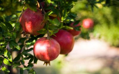 Granatapfel – gesund für Herz, Gefäße und Prostata